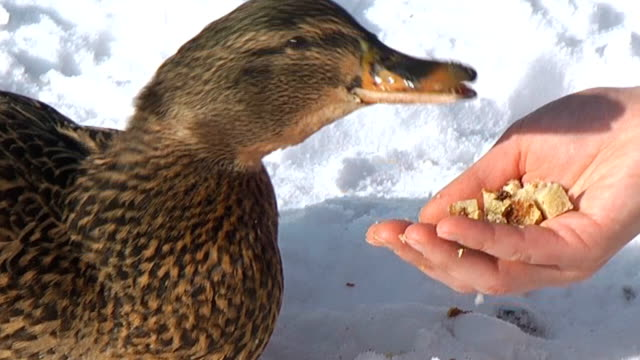 stockvideo's en b-roll-footage met feeding duck from hand - voeren