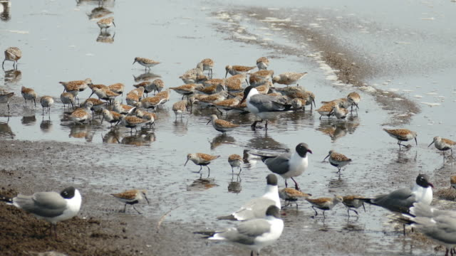 feeding dunlin red knot sandpipers laughing gulls reeds beach new jersey - sandpiper stock videos & royalty-free footage