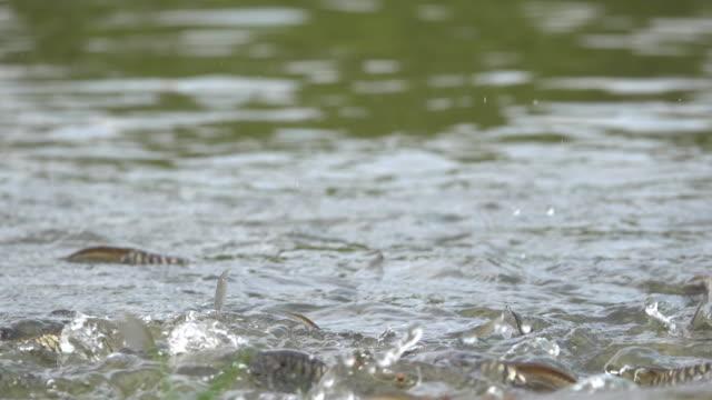 vídeos y material grabado en eventos de stock de alimentación de peces en estanque - marisma