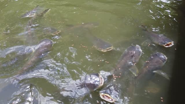 feeding fish in pond - akvatisk organism bildbanksvideor och videomaterial från bakom kulisserna