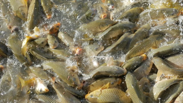 vídeos de stock, filmes e b-roll de alimentação de peixes  - alimentando