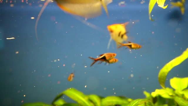 Nourrir les poissons dans l'aquarium de la maison en face de fond bleu
