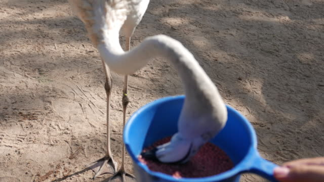 stockvideo's en b-roll-footage met vogels voederen flamingo - dierentuin