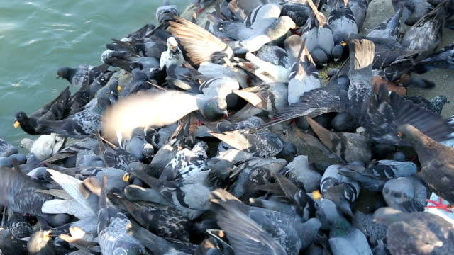 feeding flock of pigeons and dove at river