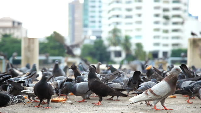 Feeding flocks of pigeons.