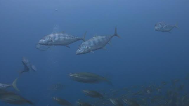 feeding frenzy - jack fish stock videos and b-roll footage
