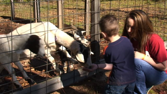 stockvideo's en b-roll-footage met feeding goats - dierentuin