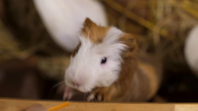 fütterung hamster - niedlich stock-videos und b-roll-filmmaterial