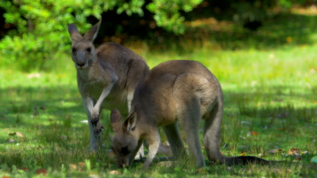 feeding kangaroos - australia stock videos & royalty-free footage