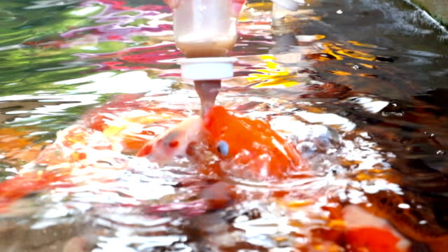 feeding koi carp by baby milk bottle - milk bottle stock videos & royalty-free footage