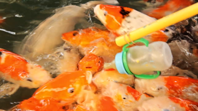 feeding koi carp fish - milk bottle stock videos & royalty-free footage