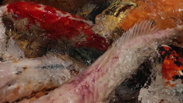 Voeden van Koi vissen