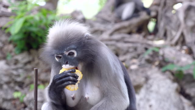 feeding leaf monkey - cute stock videos & royalty-free footage