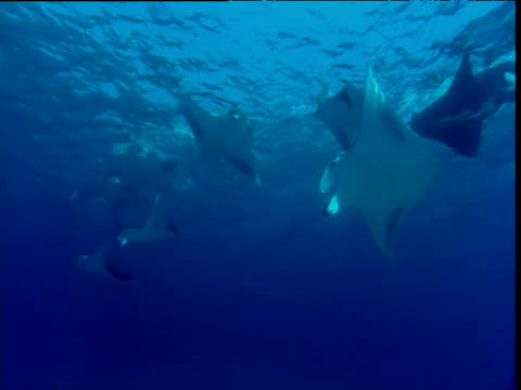 vídeos de stock e filmes b-roll de feeding line of manta rays viewed from underneath - grande raia