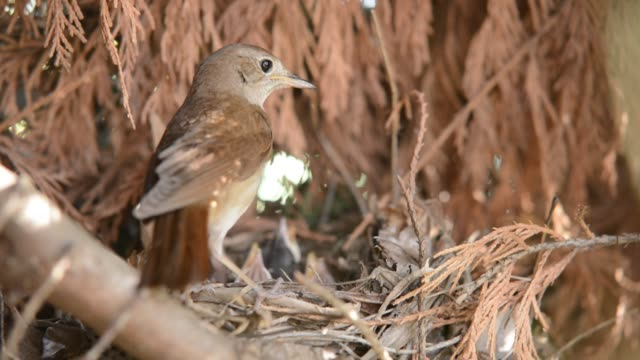 feeding nightingale babies and cleaning the nest - nightingale stock videos & royalty-free footage