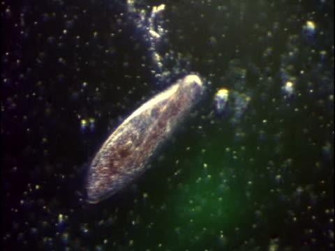 vídeos de stock, filmes e b-roll de a feeding paramecium - ciliado