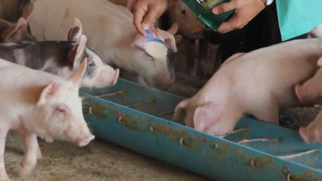 ファームとフィードボックスで豚を養う - ブタ点の映像素材/bロール