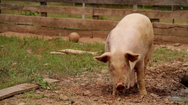 Feeding Pig