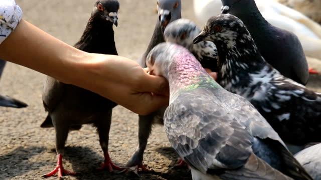 feeding pigeon birds in hand - feeding stock videos & royalty-free footage