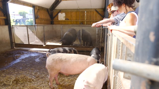 feeding pigs at the farm over the fence - breeder stock videos and b-roll footage
