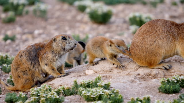 feeding prairie dog pups - great plains stock videos & royalty-free footage