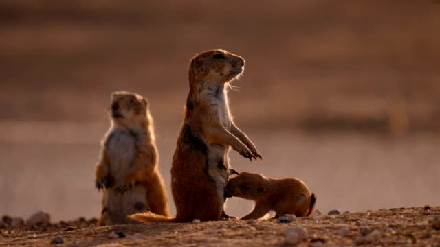 feeding prairie dog pups - southwest usa stock videos and b-roll footage