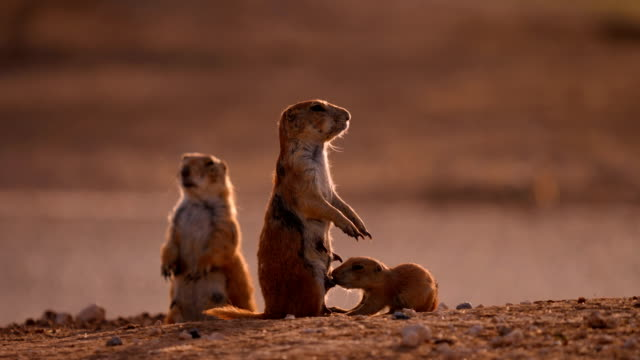 feeding prairie dog pups - roditore video stock e b–roll