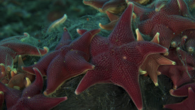 tl feeding starfish pulsate on sea floor, antarctica - seabed stock videos & royalty-free footage