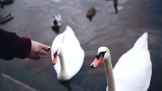 プラハの白鳥の餌 - ヴルタヴァ川点の映像素材/bロール