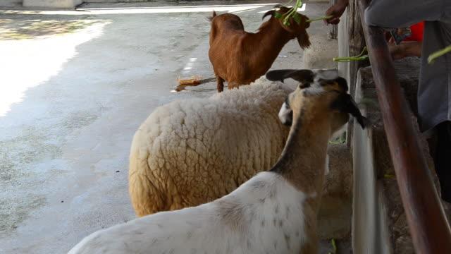 feeding the goats and sheep. - liten djurflock bildbanksvideor och videomaterial från bakom kulisserna