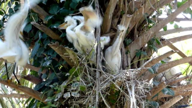 stockvideo's en b-roll-footage met feeding the ravenous egret chicks - zilverreiger