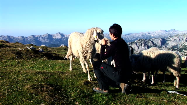 hd: feeding the sheep - livestock stock videos & royalty-free footage