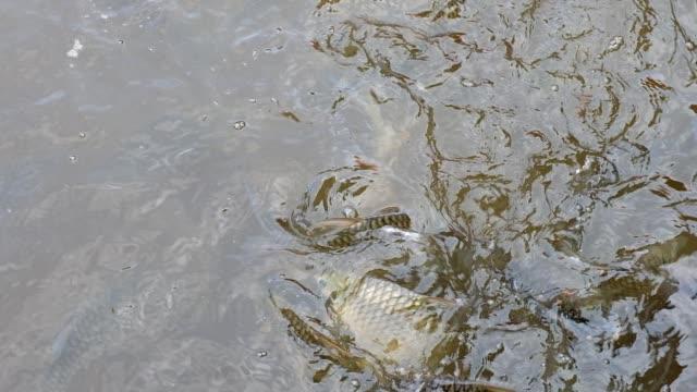fütterung von tilapia und welsen schwimmen im teich - rind stock-videos und b-roll-filmmaterial