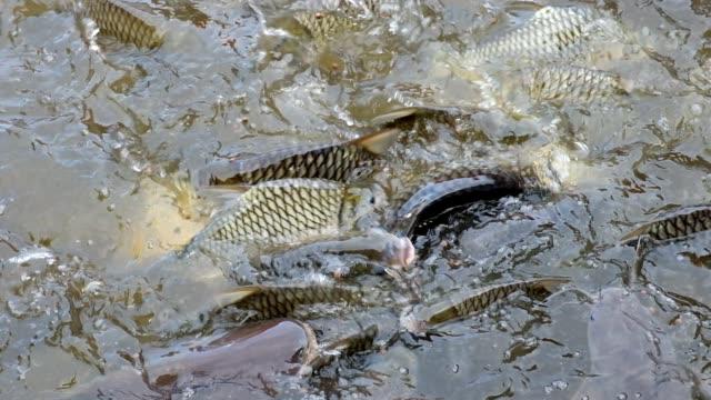 fütterung von tilapia und welsen schwimmen im teich - teich stock-videos und b-roll-filmmaterial