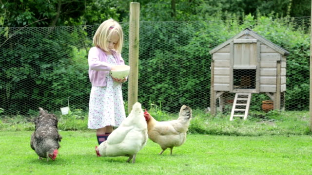 feeding time... - chicken bird stock videos and b-roll footage