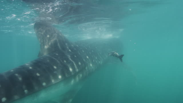 feeding whale shark with remora - james whale stock-videos und b-roll-filmmaterial
