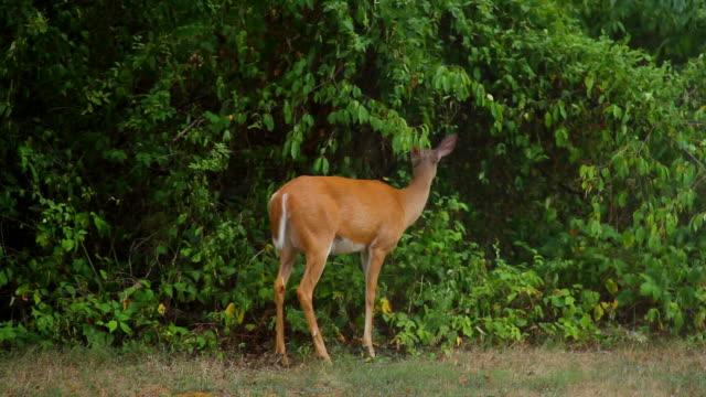 stockvideo's en b-roll-footage met feeding whitetail doe - cottontail