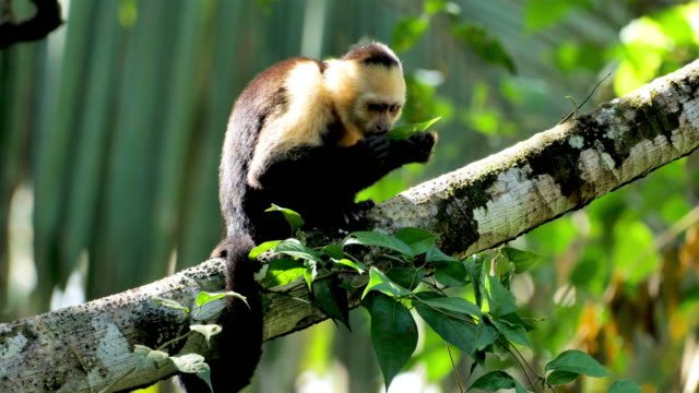 feeding wild capuchin monkey: costa rica - tropical tree stock videos & royalty-free footage