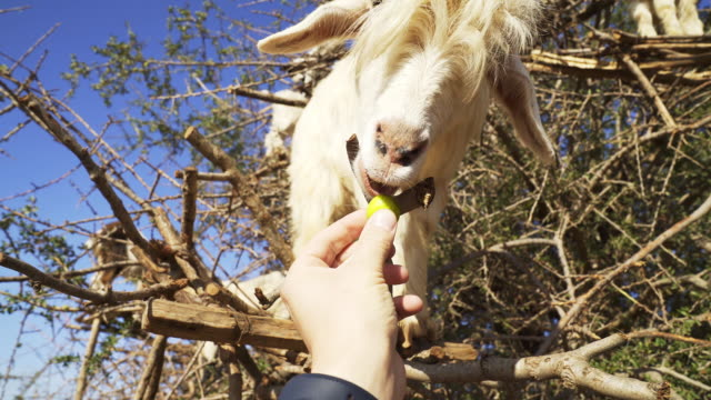 feeding wild goat. animal's close up - limb body part stock videos & royalty-free footage