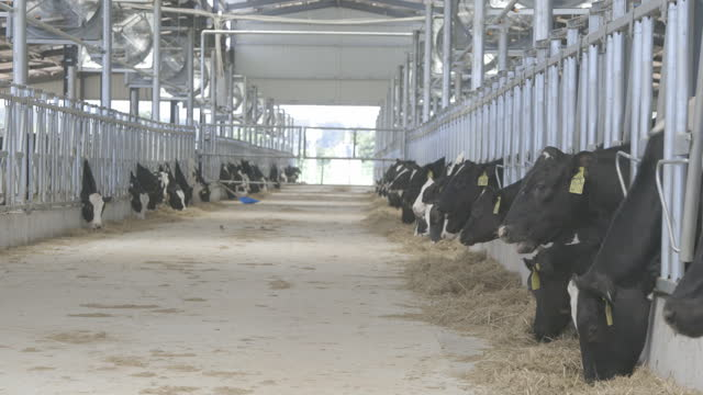 feedlot with fodder and cows eating from it. - herbivorous stock videos & royalty-free footage