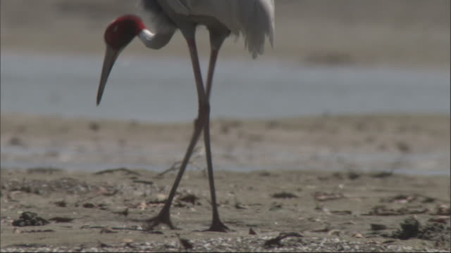 stockvideo's en b-roll-footage met feet and head of sarus crane as it feeds on river bank, chambal river, india available in hd. - rivieroever
