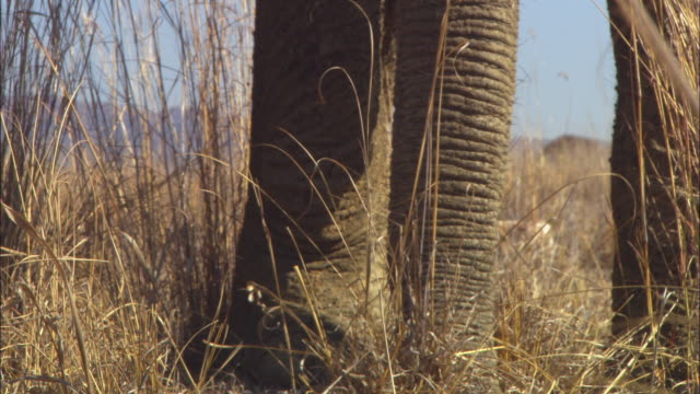 CU feet and trunk of African elephant as it sniffs through grass