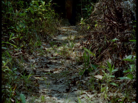 stockvideo's en b-roll-footage met feet and trunk of asian elephant as it walks towards camera down forest trail, thailand - neus van een dier