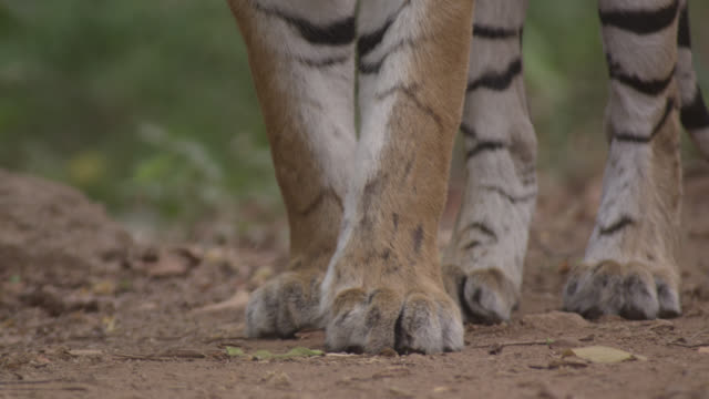 feet of bengal tiger (panthera tigris) standing in forest, bandhavgarh, india - undomesticated cat stock videos & royalty-free footage