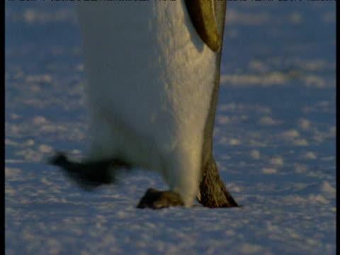 feet of emperor penguins walking past camera, terra nova, antarctica - emperor stock videos and b-roll footage