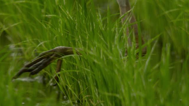 feet of heron walk through paddy field, japan. - heron stock videos & royalty-free footage