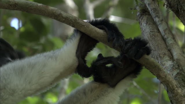 feet of indri lemur (indri indri) cling to tree branch, madagascar - インドリ点の映像素材/bロール