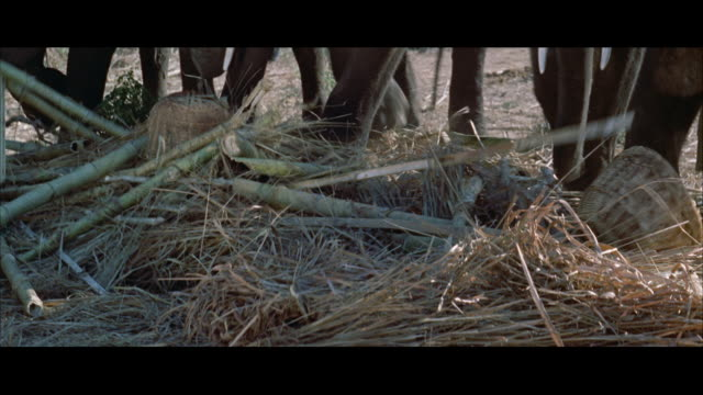 ms feet tusks of elephant herd kicking at debris  - tierkörper stock-videos und b-roll-filmmaterial