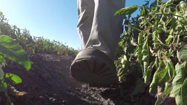 feet walking between tomato rows - wiese stock videos & royalty-free footage