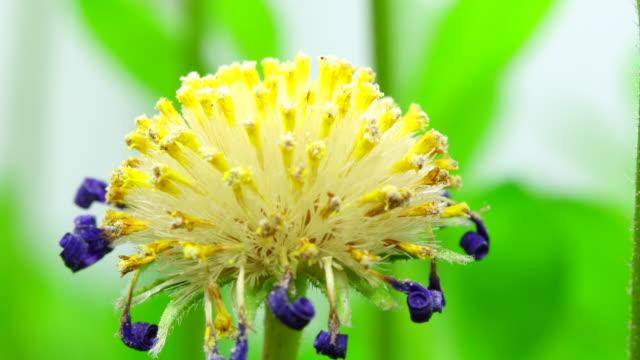 Felicia amelloides seeds - Blue daisy dandelion